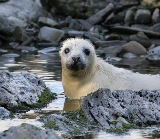 Wildlife on the Calf of Man: A Public Lecture