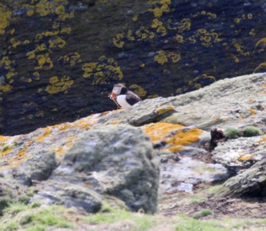 PUFFINS RETURN TO THE CALF OF MAN